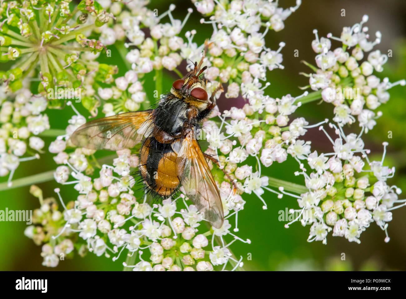 Parasit Fly/tachinid Fly/Tachina fera Fütterung auf Nektar von umbellifer Blume im Sommer Stockbild