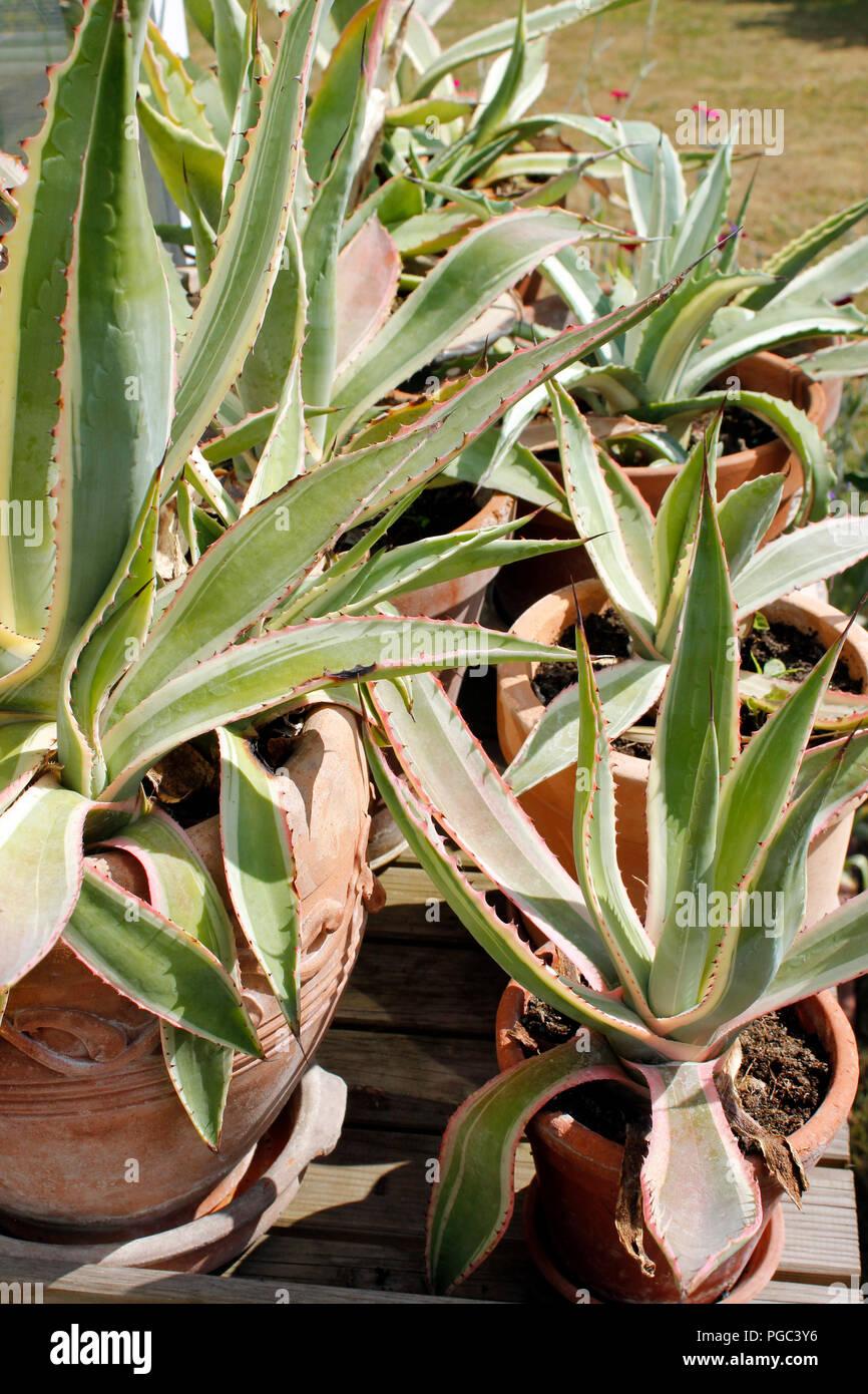 Agave Auswahl gemischter agave Pflanzen in Töpfen Stockbild