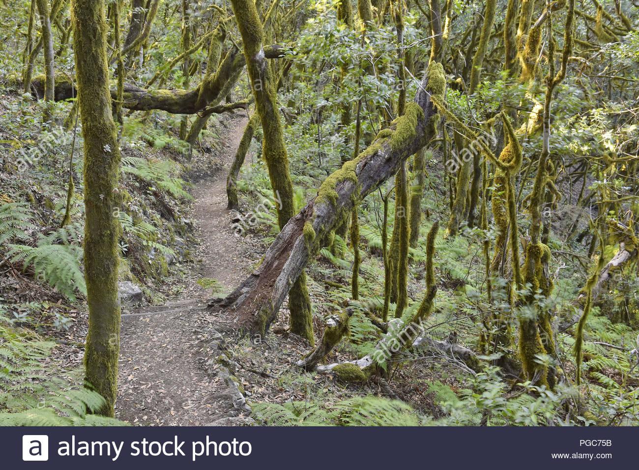 Moos und Flechten bewachsen. Wanderweg durch Evergreen Laurel Wald Der Nationalpark Garajonay auf La Gomera Kanarische Inseln Spanien. Stockbild