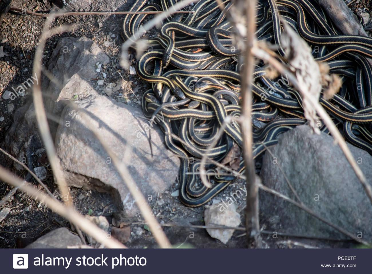 Paarung Schlangen