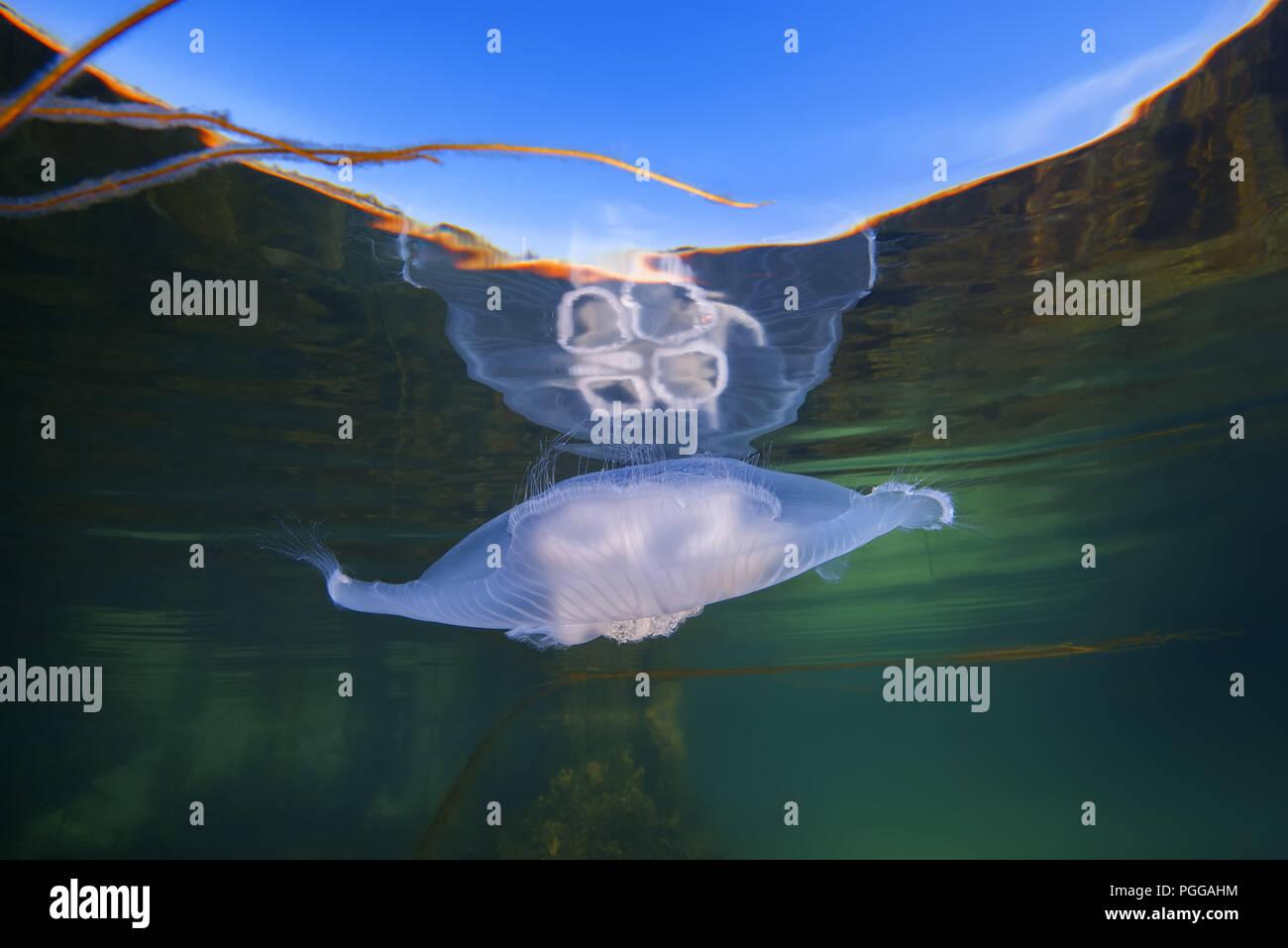 Ohrenquallen, gemeinsame Qualle, Moon jelly oder Untertasse Jelly (Aurelia aurita) ist aus der Wasseroberfläche reflektiert Stockfoto