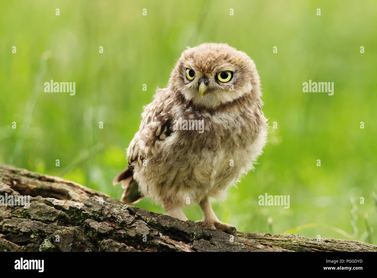Nahaufnahme eines Jugendlichen kleine Eule hocken auf einem Baum vor grünem Hintergrund anmelden, UK. Stockbild