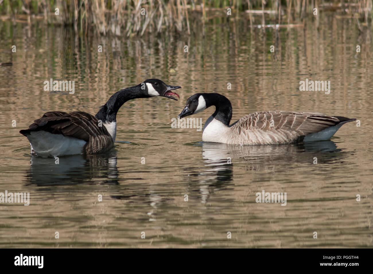 Bickering Paar schwimmen Kanadagänse, eines mit Zunge heraus hängen. Stockbild