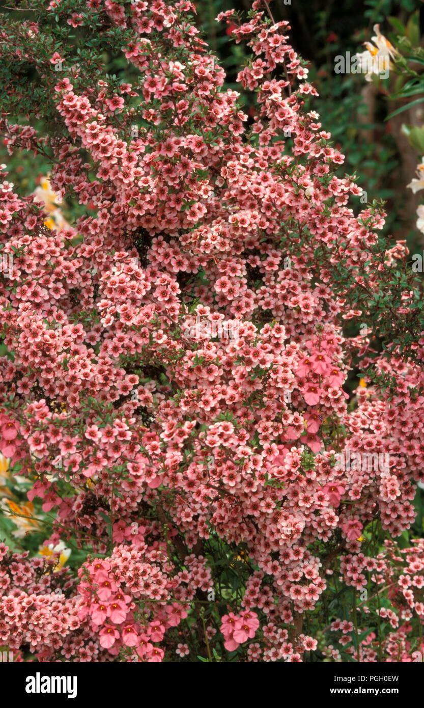 LEPTOSPERMUM SCOPARIUM 'Ruby Wedding' (auch bekannt als JELLY BUSH, MANUKA, Myrte, Ginster TEE - TREE) Stockbild