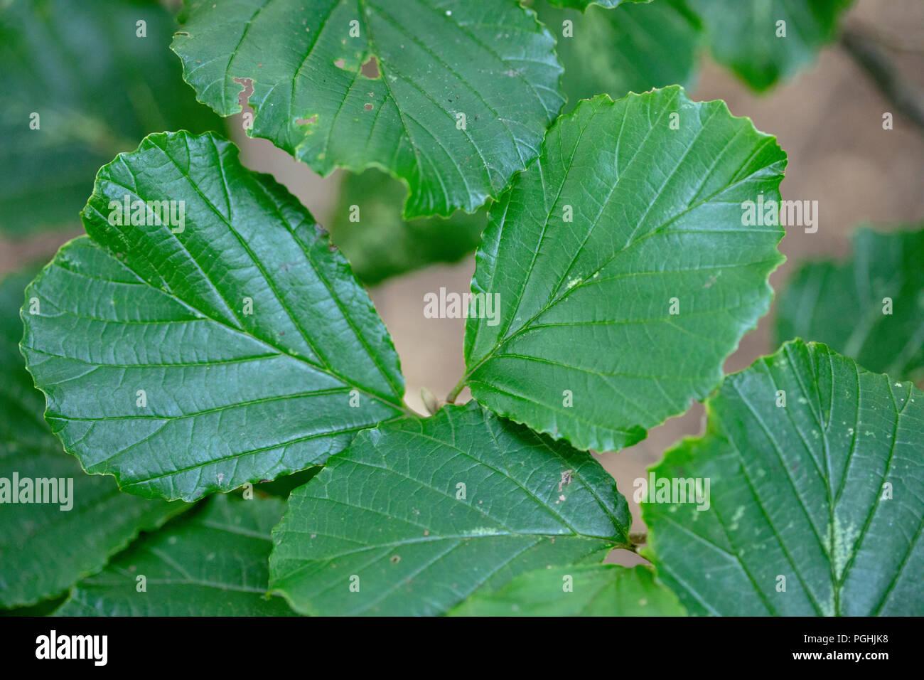 Blatt von cedrela Sinensis chinesischer Cedrela chinesischen Toon Baum Stockbild