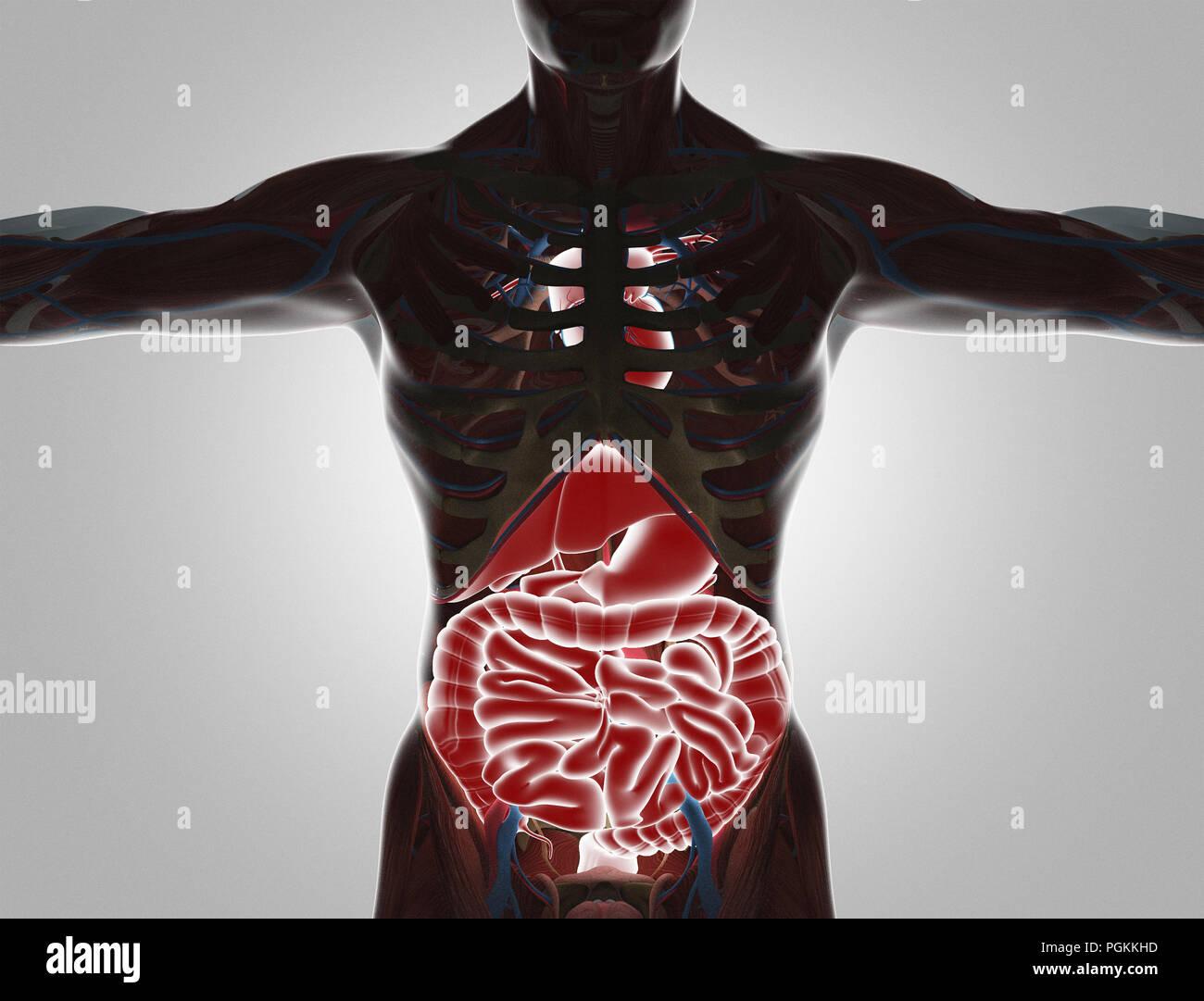 Menschliche Körper mit sichtbaren Organe, 3D-Rendering illustration ...