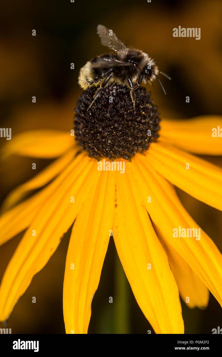 Bumble Bee Sammeln von Honig aus einer Blume Stockbild