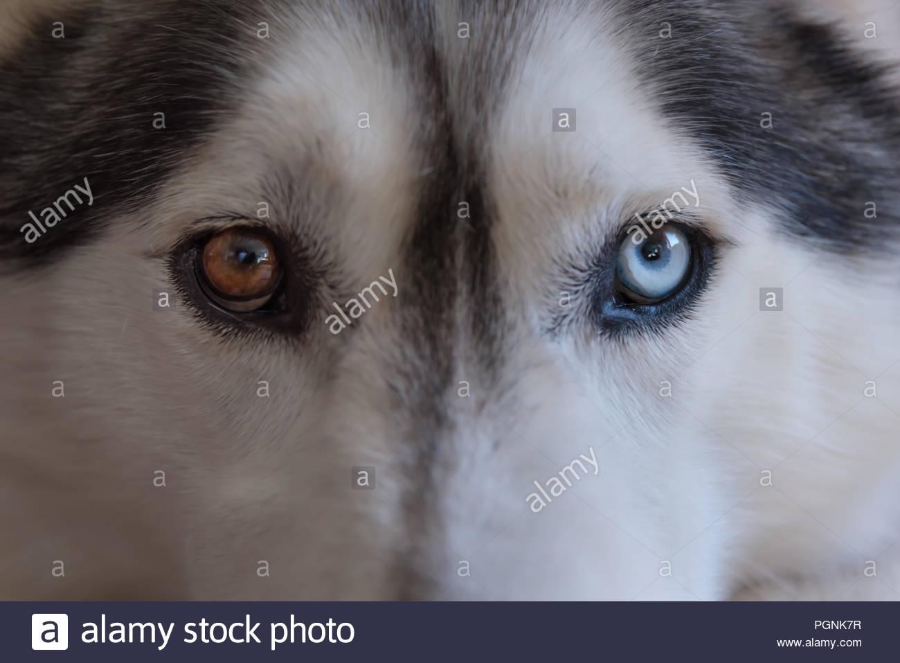 Nahaufnahme der bi-farbigen oder Parti-farbigen Augen eines grauen und weißen Husky wolf Hunderasse. ein Auge blau, die andere Braun Stockbild