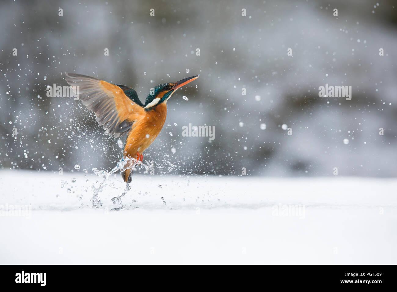 Eisvogel (Alcedo atthis) Angeln durch ein Eisloch Stockbild