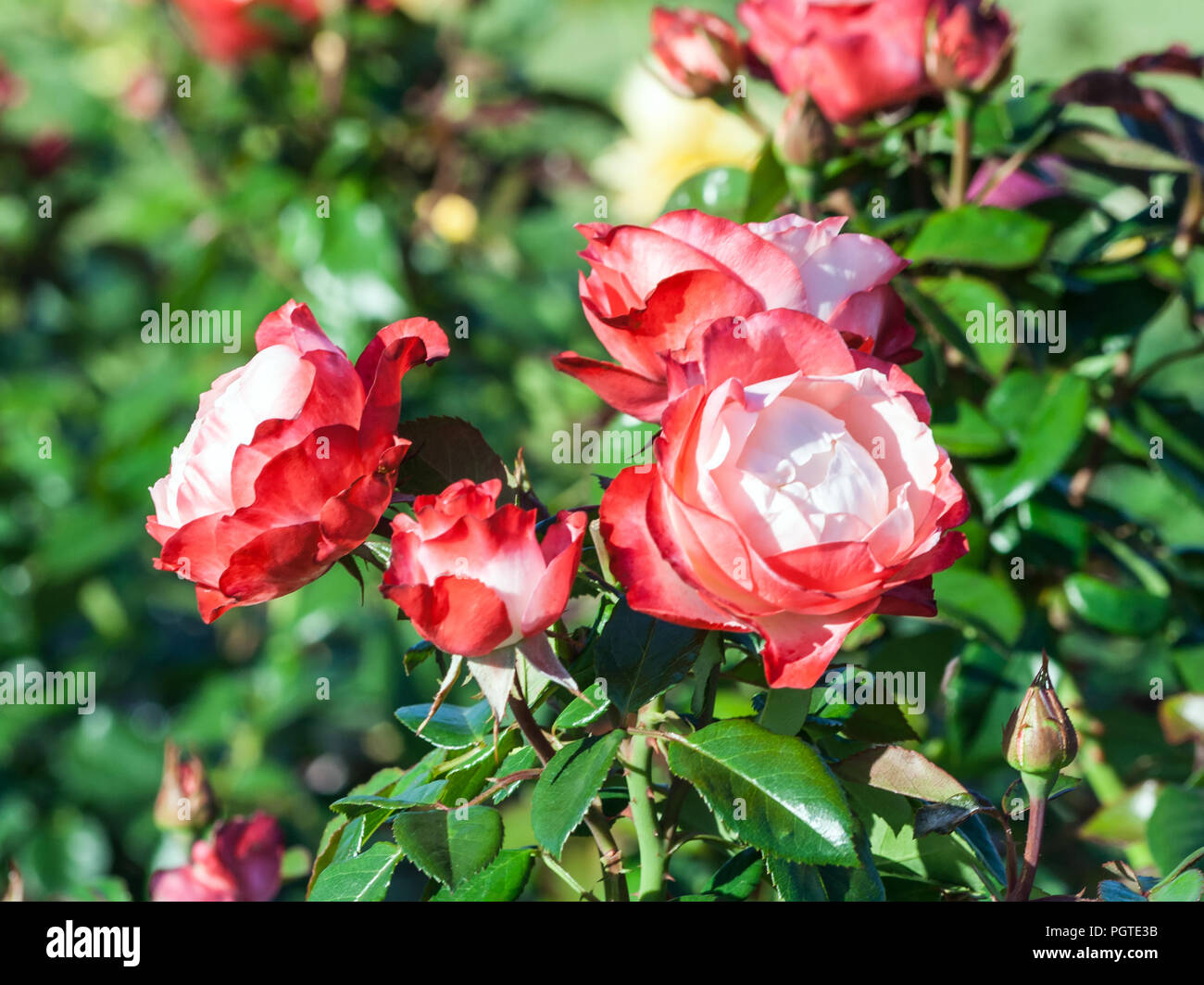 Rose Nostalgie ein Haufen zarte weiße und rote Blumen, einen roten Rahmen an den Spitzen der Blütenblätter, die Pflanze wächst im Garten, Tageslicht, Sommertag, Stockbild