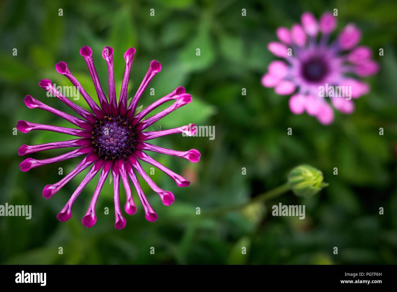Spider lila osteospermum Blume in voller Blüte vor einem grünen Hintergrund Stockfoto