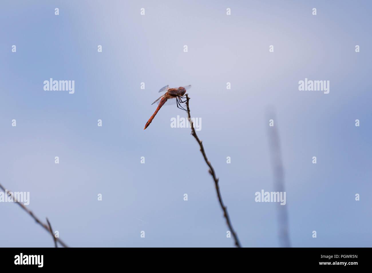 Dragonfly sitzen auf Zweig - USA Stockbild
