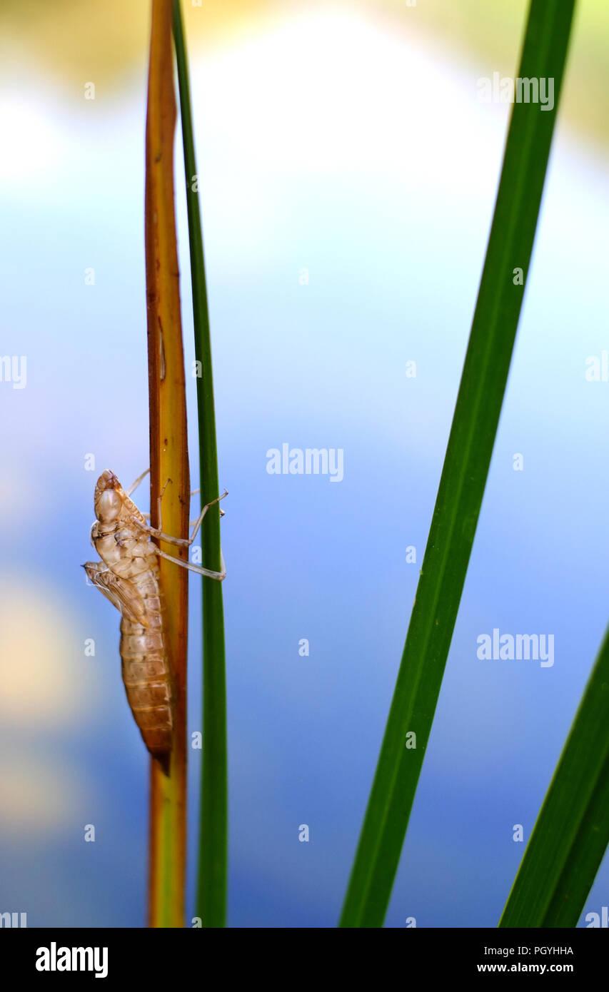 Leere Dragonfly nymph Gehäuse. Stockbild