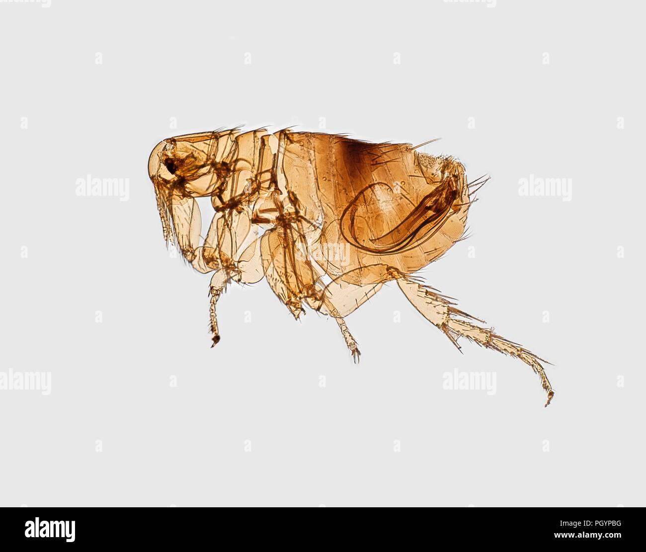 Morphologischen Merkmal eines Flohs in die digital dargestellt - eingefärbte Rasterelektronenmikroskopische (SEM) Bild, 2017. Mit freundlicher Seuchenkontrollzentren (CDC)/Ken Gage. () Stockbild