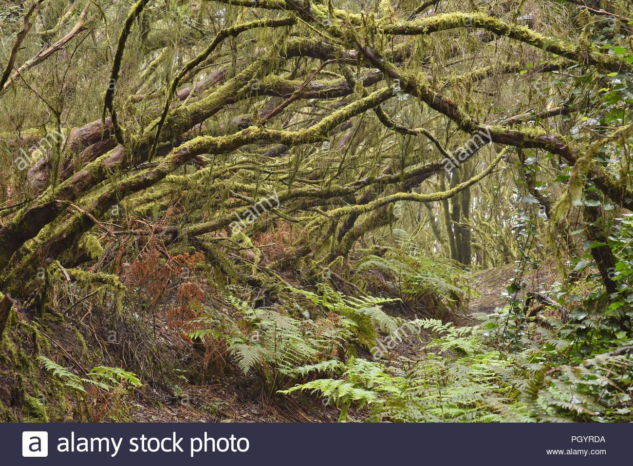 Evergreen Laurel Wald. Bäumen bedeckt mit Moos und Flechten, Anaga ländlichen Park im Nordosten von Teneriffa Kanarische Inseln Spanien. Stockbild