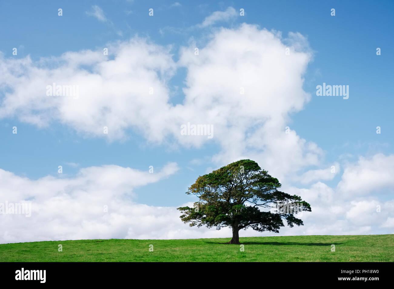 Einzelnen Baum auf grünem Gras gegen den blauen Himmel und Wolken Stockbild