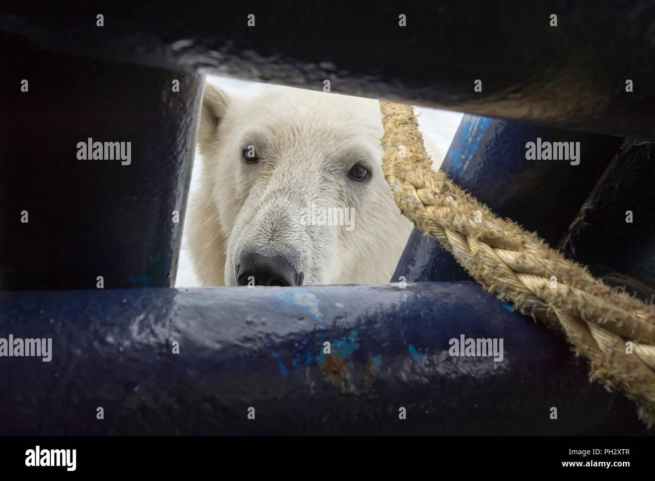 Eisbär (Ursus maritimus) Suchen Sie durch eine Öffnung in das Schiff deck, Svalbard, Norwegen Stockbild