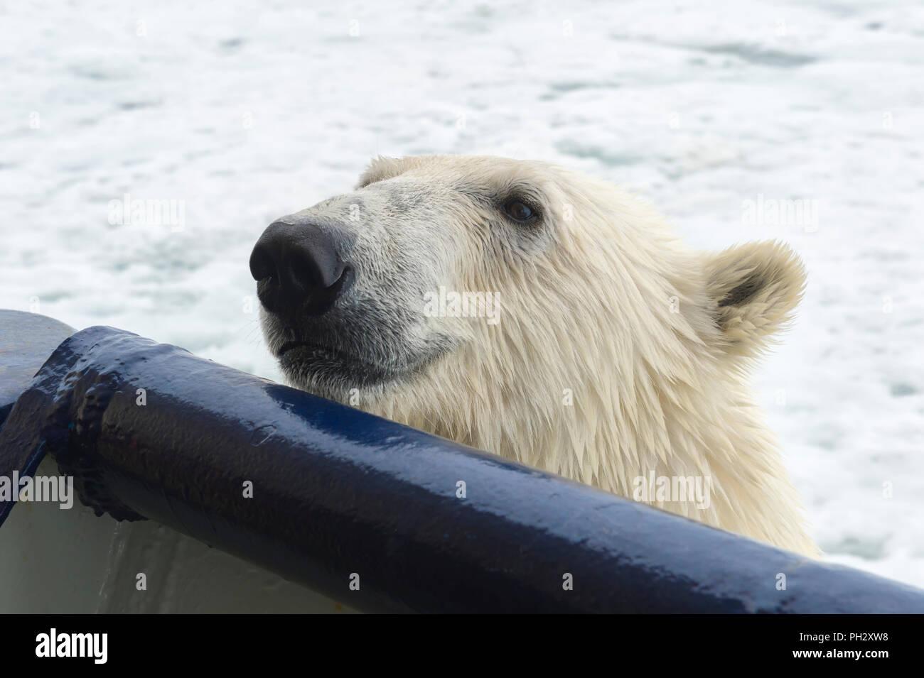 Eisbär (Ursus maritimus) versucht eine Expedition Schiff, Svalbard, Norwegen zu klettern Stockbild