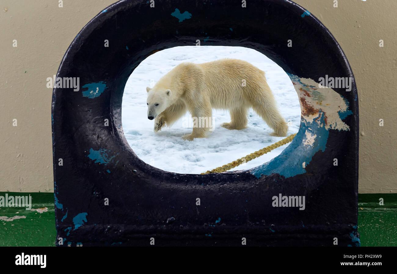 Roaming Eisbär (Ursus maritimus) durch eine Öffnung in das Schiff Deck gesehen, Svalbard, Norwegen Stockbild