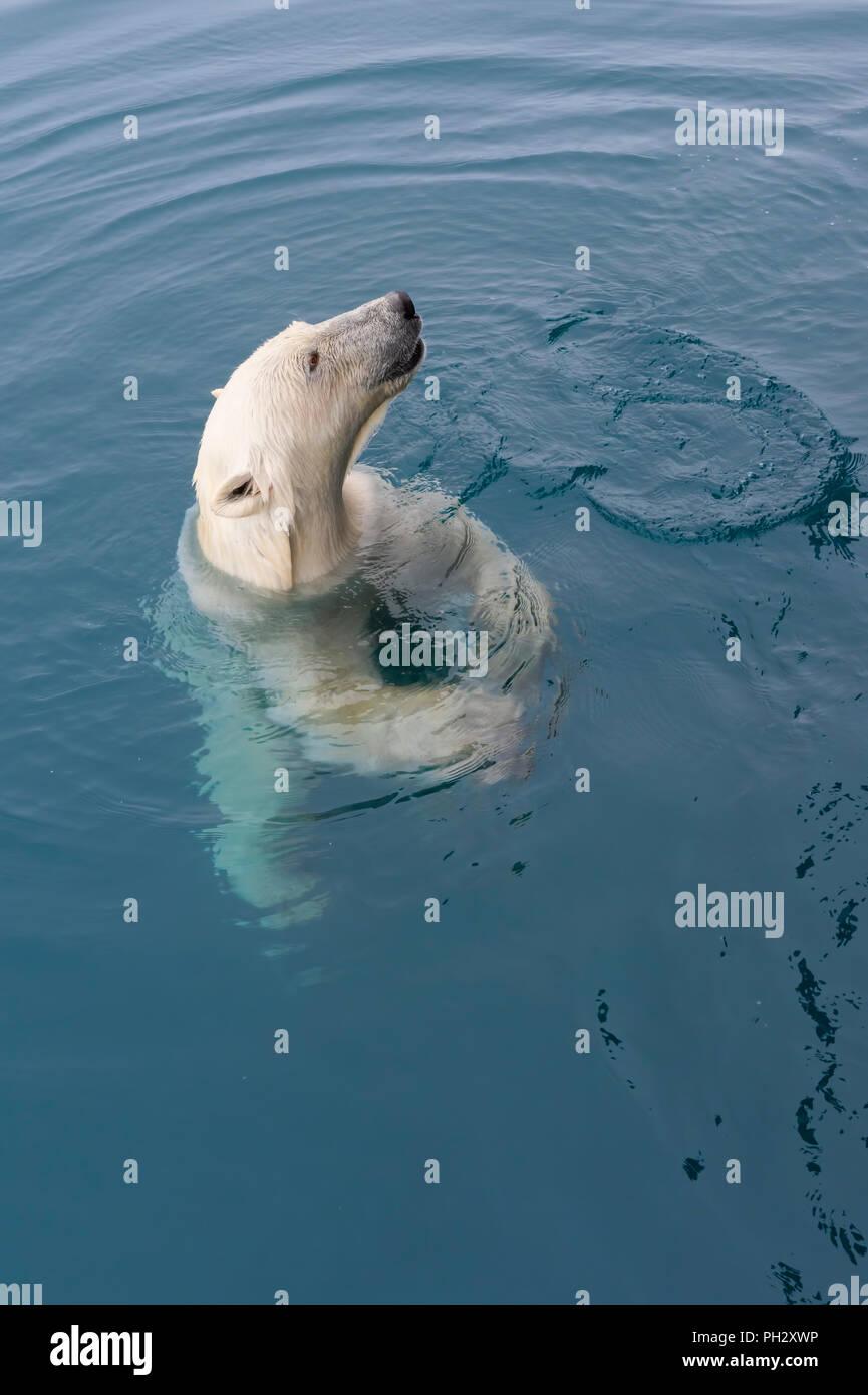 Neugierig Eisbär (Ursus maritimus) schwimmen um eine Expedition Schiff und sah, Svalbard, Norwegen Stockbild