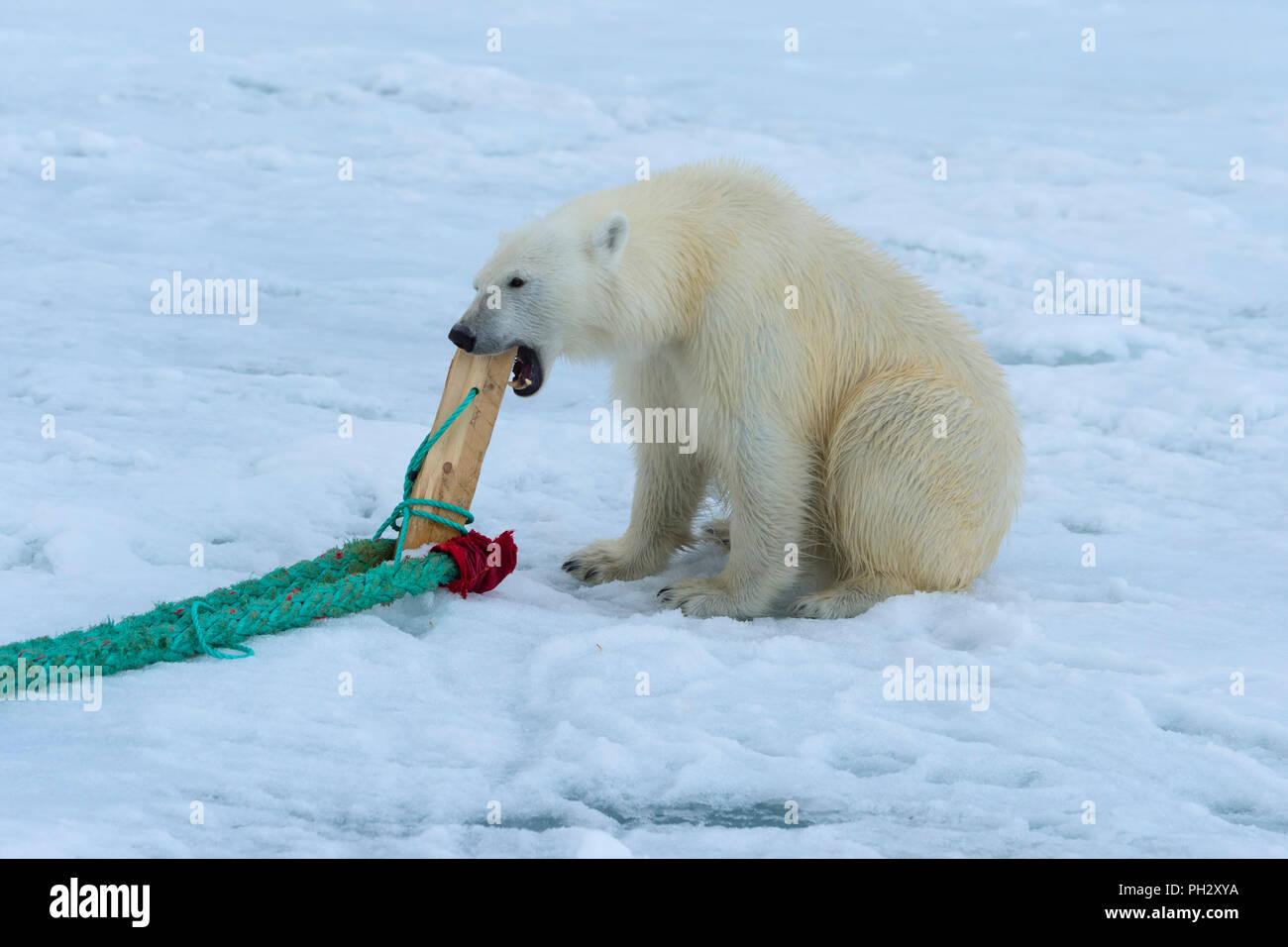 Eisbär (Ursus maritimus) Überprüfung und Kauen auf der Pole einer Expedition Schiff, Svalbard, Norwegen Stockbild