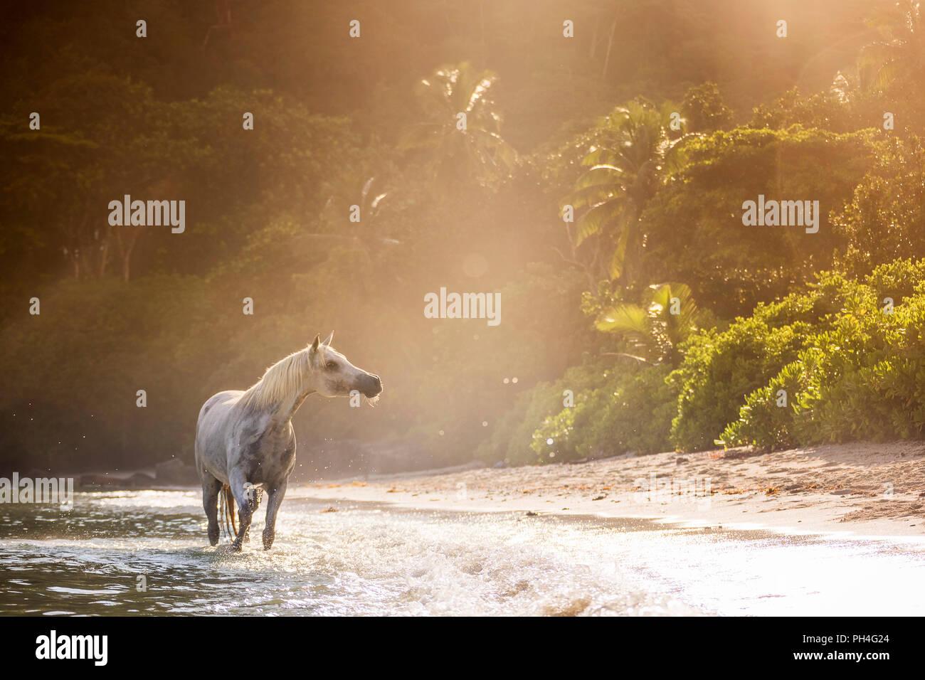 Arabische Pferd. Grey Mare im Meer, neben einem tropischen Strand. Seychellen Stockbild