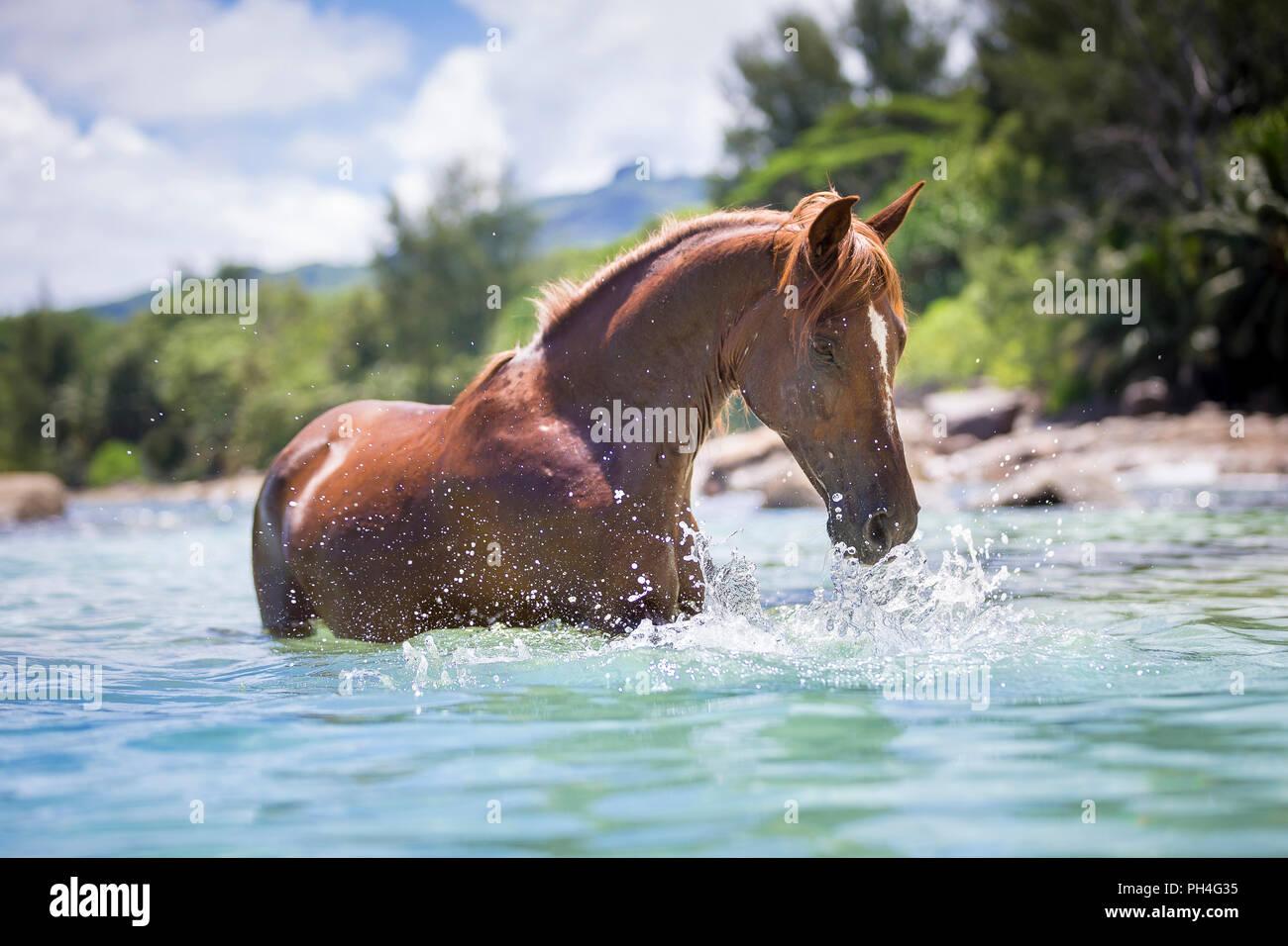Arabische Pferd. Fuchswallach, der im Meer, das Spiel mit dem Wasser. Seychellen Stockbild
