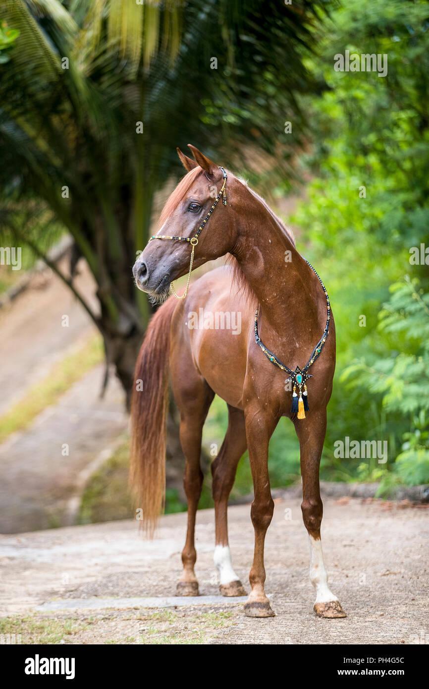 Arabische Pferd. Fuchswallach tragen zeigen, Halter, stehend auf einem Pfad. Seychellen Stockbild