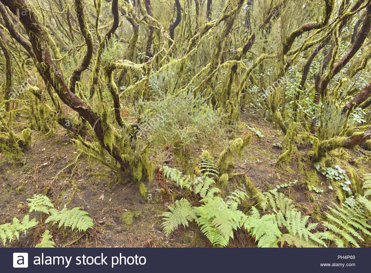 Moos und Flechten bewachsen. Evergreen Laurel Wald, Anaga ländlichen Park im Nordosten von Teneriffa Kanarische Inseln Spanien. Stockbild