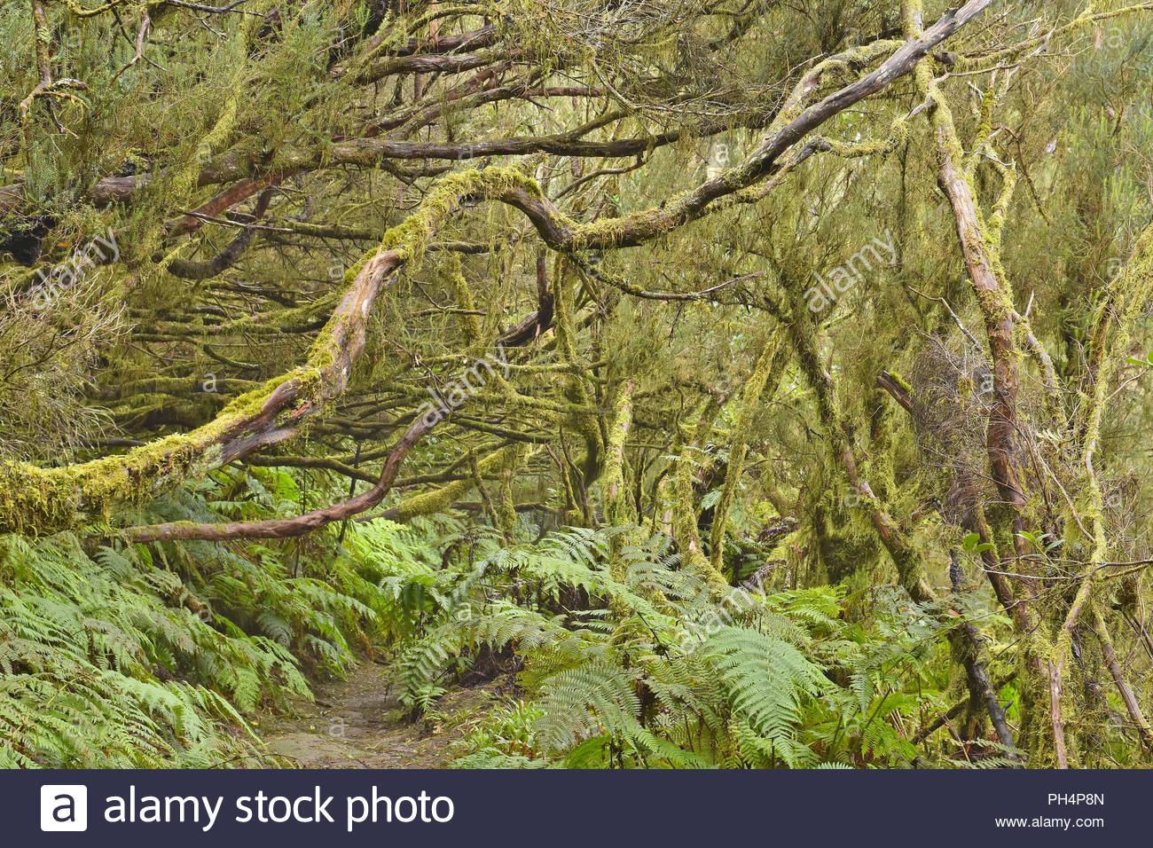 Bäumen bedeckt mit Moos und Flechten, Wanderweg durch dichten Lorbeerwald, Anaga ländlichen Park im Nordosten von Teneriffa Kanarische Inseln Spanien. Stockbild
