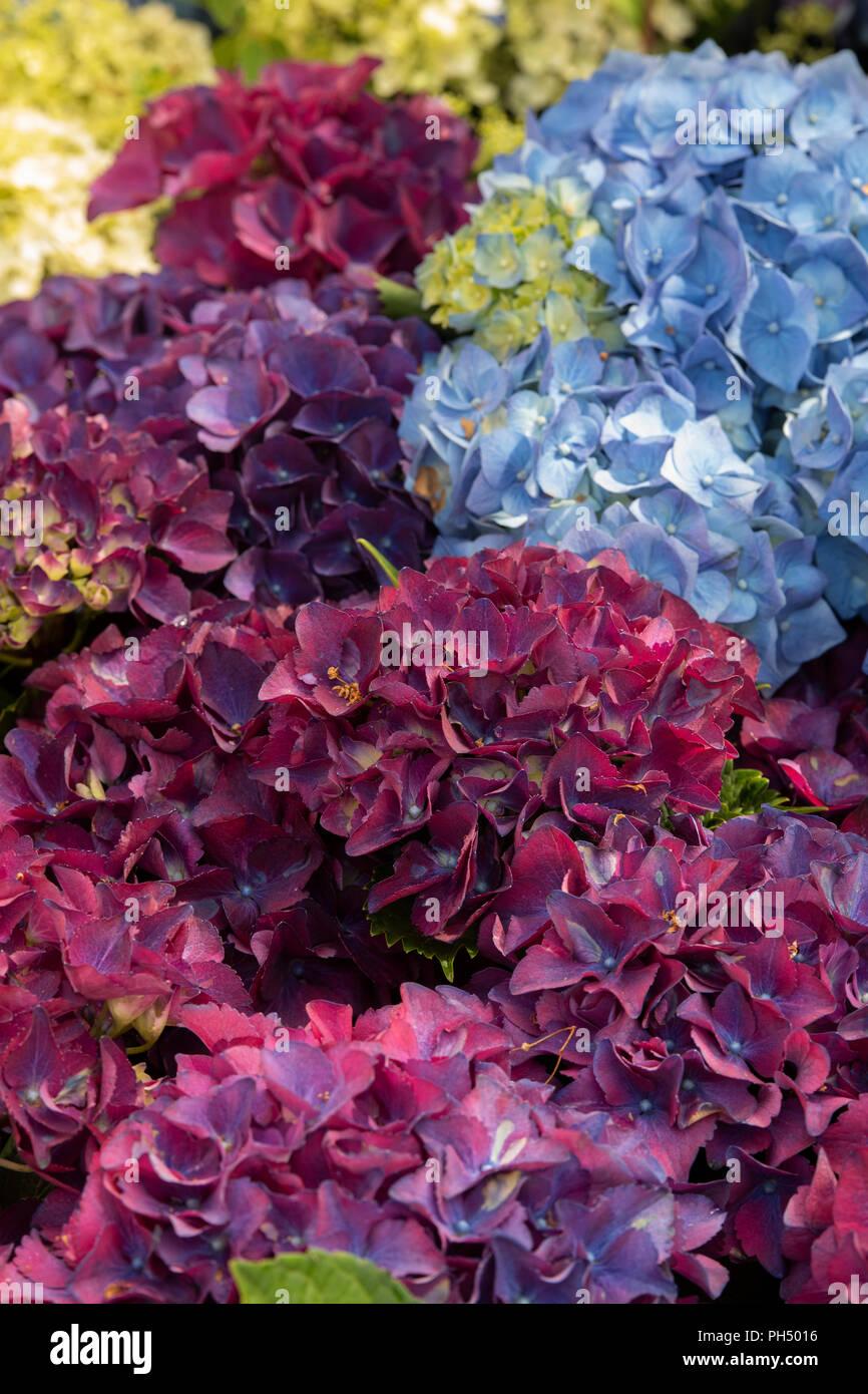 Hydrangea macrophylla royal rot blau blühender Strauch. Großbritannien Stockbild