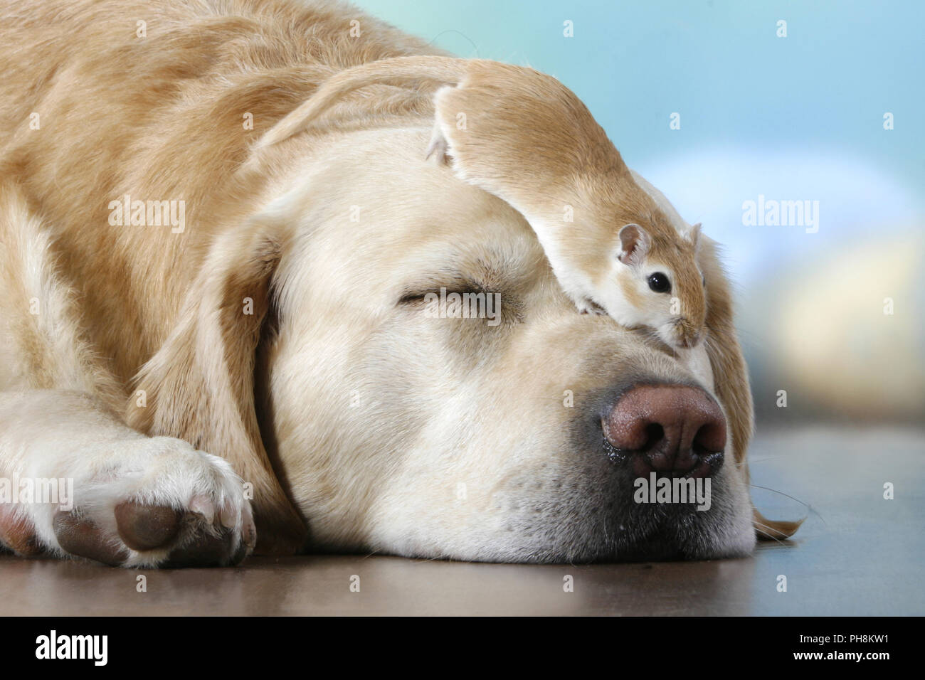 Blonder Labrador, Rennmaus, Labrador Retriever, wüstenrennmaus. Stockbild