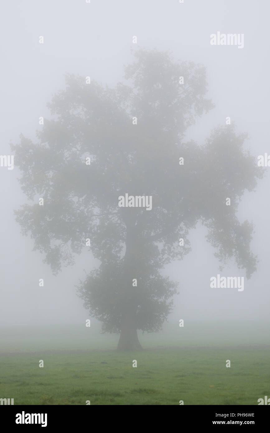 Baum-Kontur im Morgennebel auf einer Wiese Stockbild