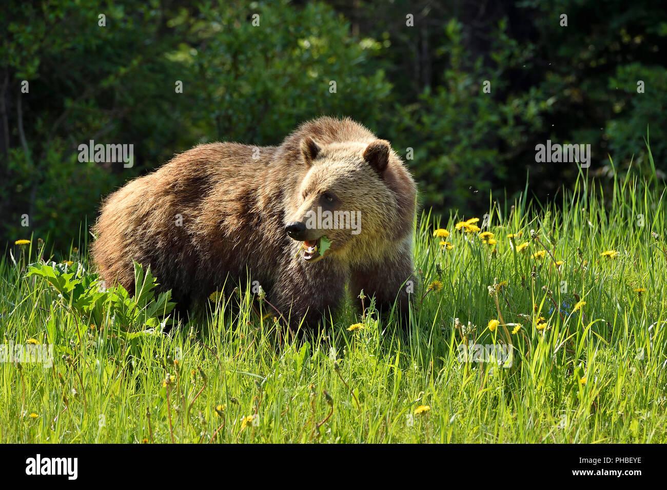 Ein Grizzly Bär (Ursus arctos), beim Füttern auf Grün dandilyon Blätter in ländlichen Alberta, Kanada. Stockbild