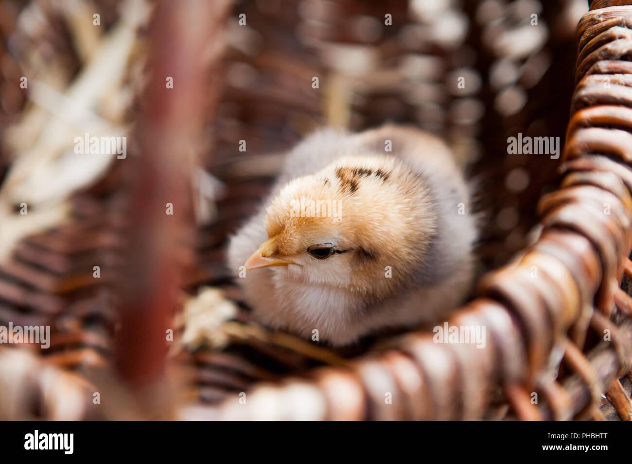 Close-up Kleine Huhn in einem braunen Korb. Stockbild