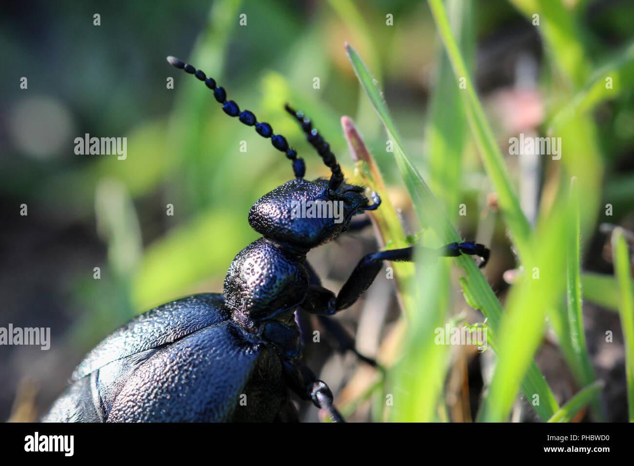 schwarz blauer käfer