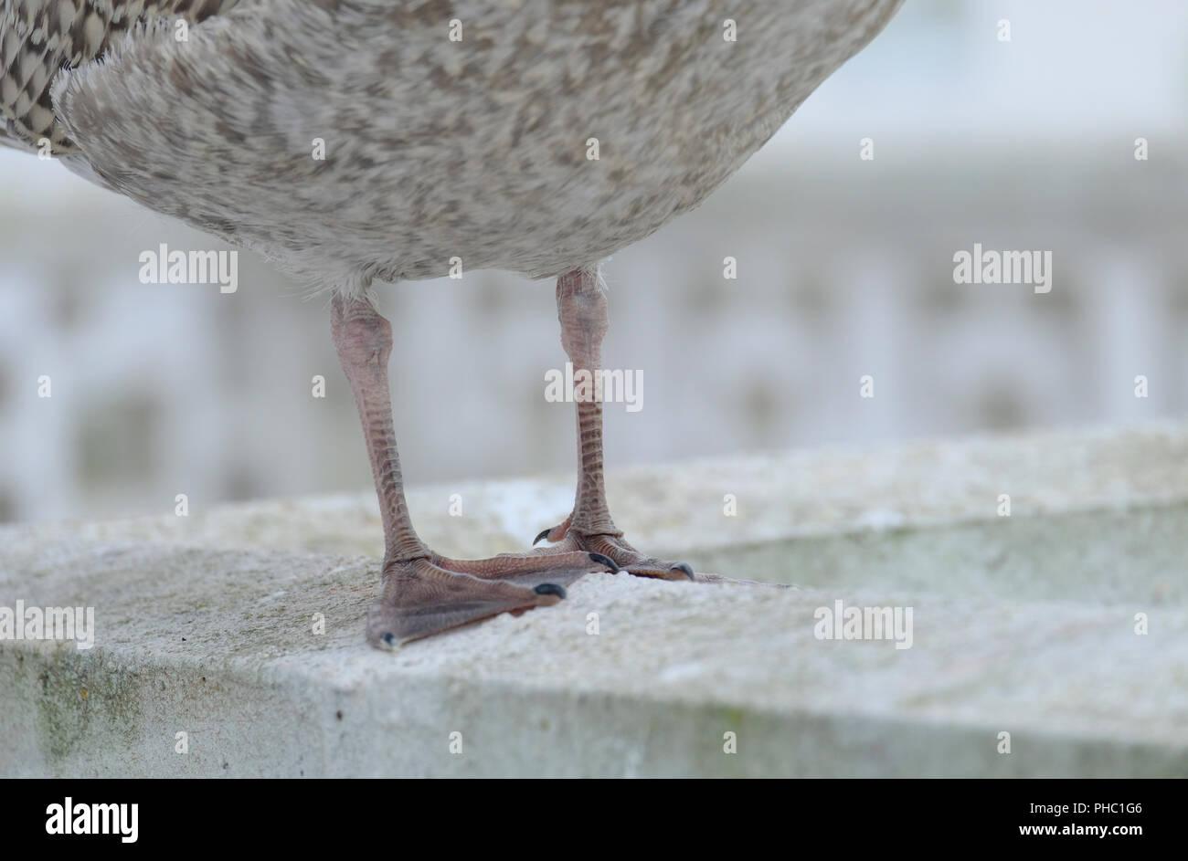 Neu flügge der Silbermöwe Beine und Schwimmhäuten. Stockbild