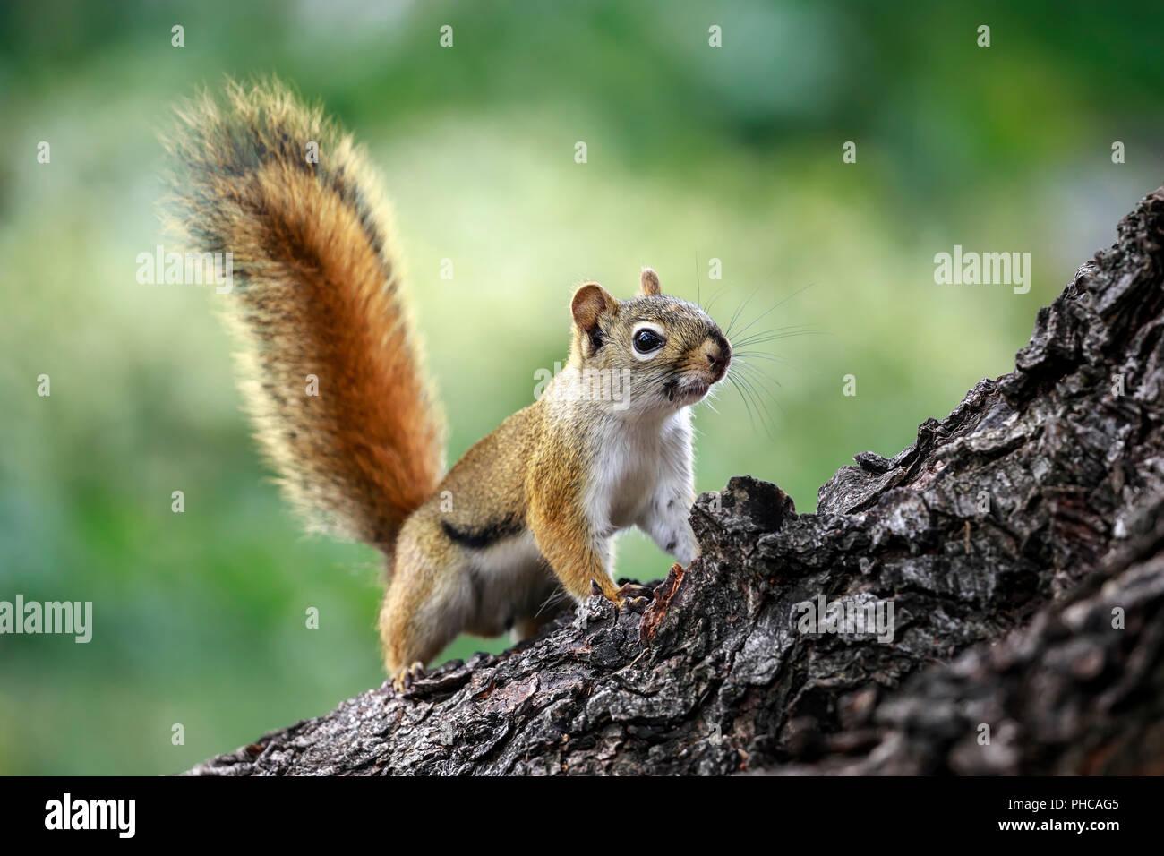 Amerikanische rote Eichhörnchen auf Zweig der Baumstruktur, Tamiasciurus hudsonicus, Manitoba, Kanada. Stockbild