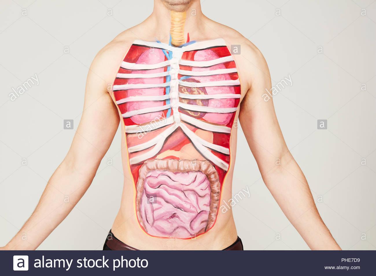 Malerei Der Inneren Organe Des Menschen Körper Stockfotografie Alamy