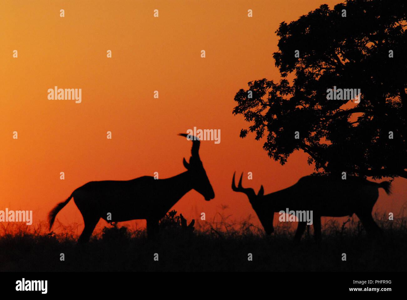Hartebeest Antilopen mit Hörnern in den Kampf gegen die Pose an einer Safari Sonnenaufgang. Der Addo Elephant Park in Südafrika fotografiert. Stockbild
