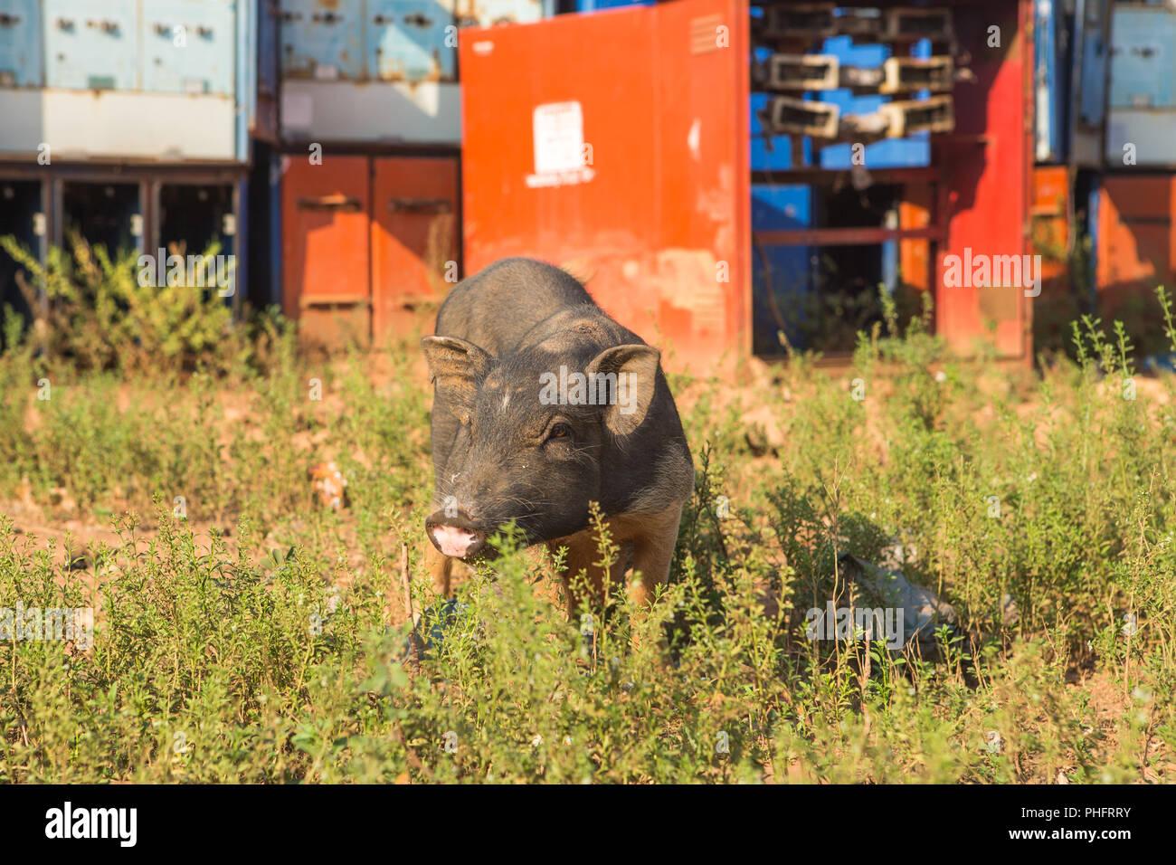 Grau Schwein, close-up auf grünem Gras Hintergrund Stockbild