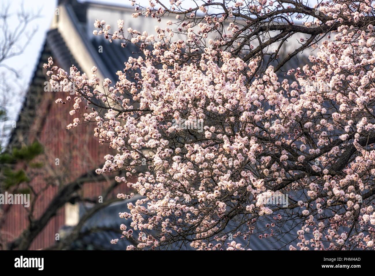 Aprikose Blume Baum in den Gyeongbok Palast Stockbild