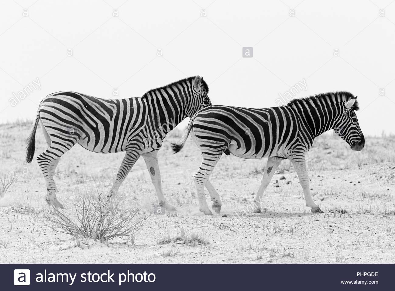 Zebra wandern in Feld Stockbild