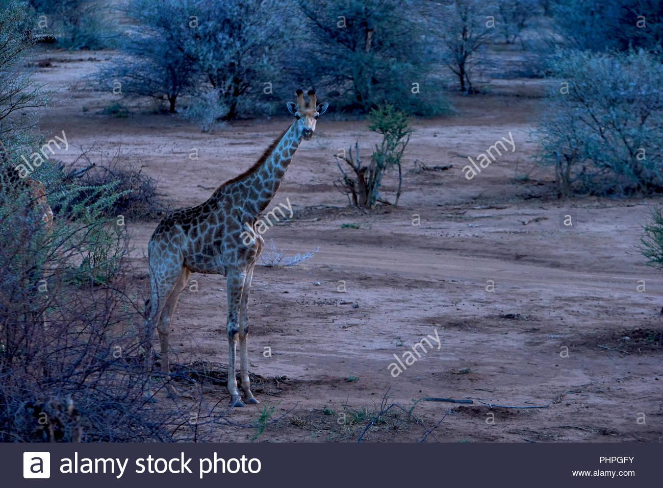 Giraffe durch Bäume Stockbild