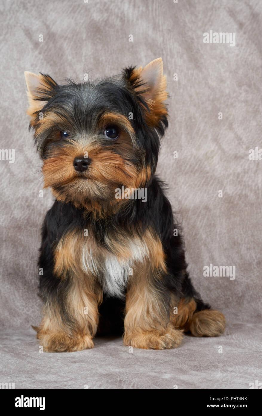Adorable Und Cute Puppy Der Yorkshire Terrier Sitzt Auf Background
