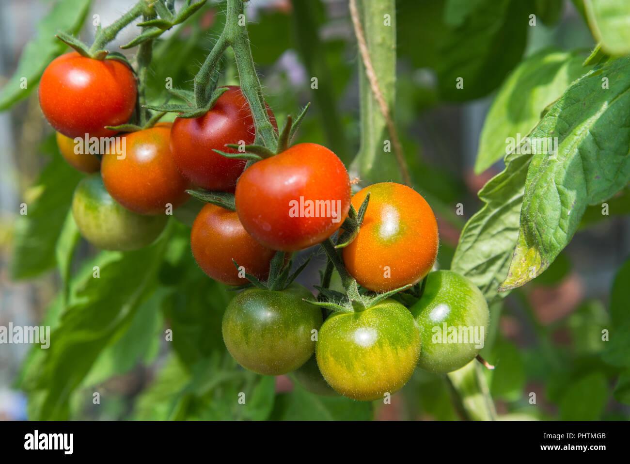 Prächtig In der Nähe von Fachwerk von Rot und Grün Cherry Tomaten reifen &GI_39