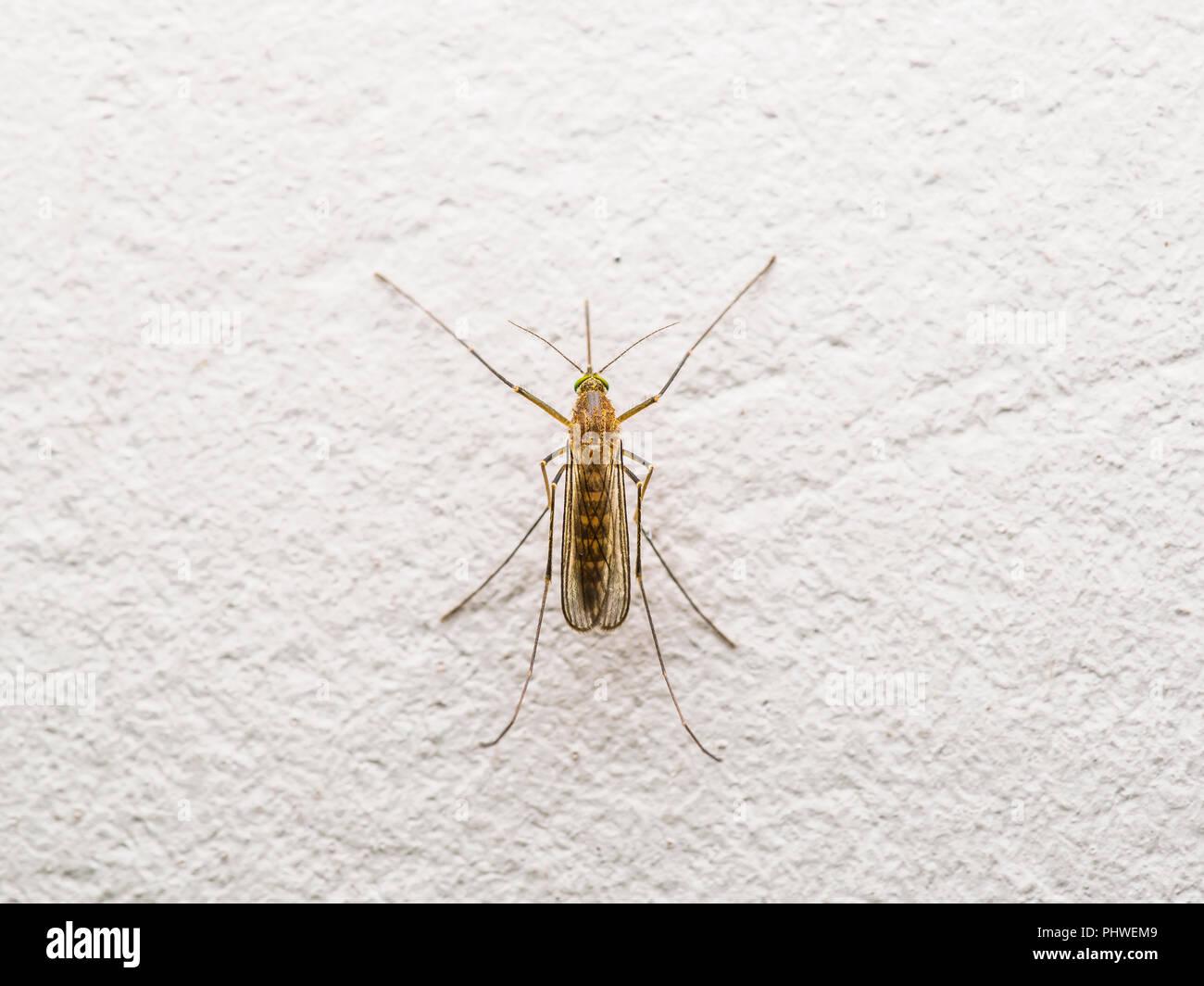 Gelbfieber, Malaria oder Zika Virus infizierten Mücke Insekt auf Wand Stockbild