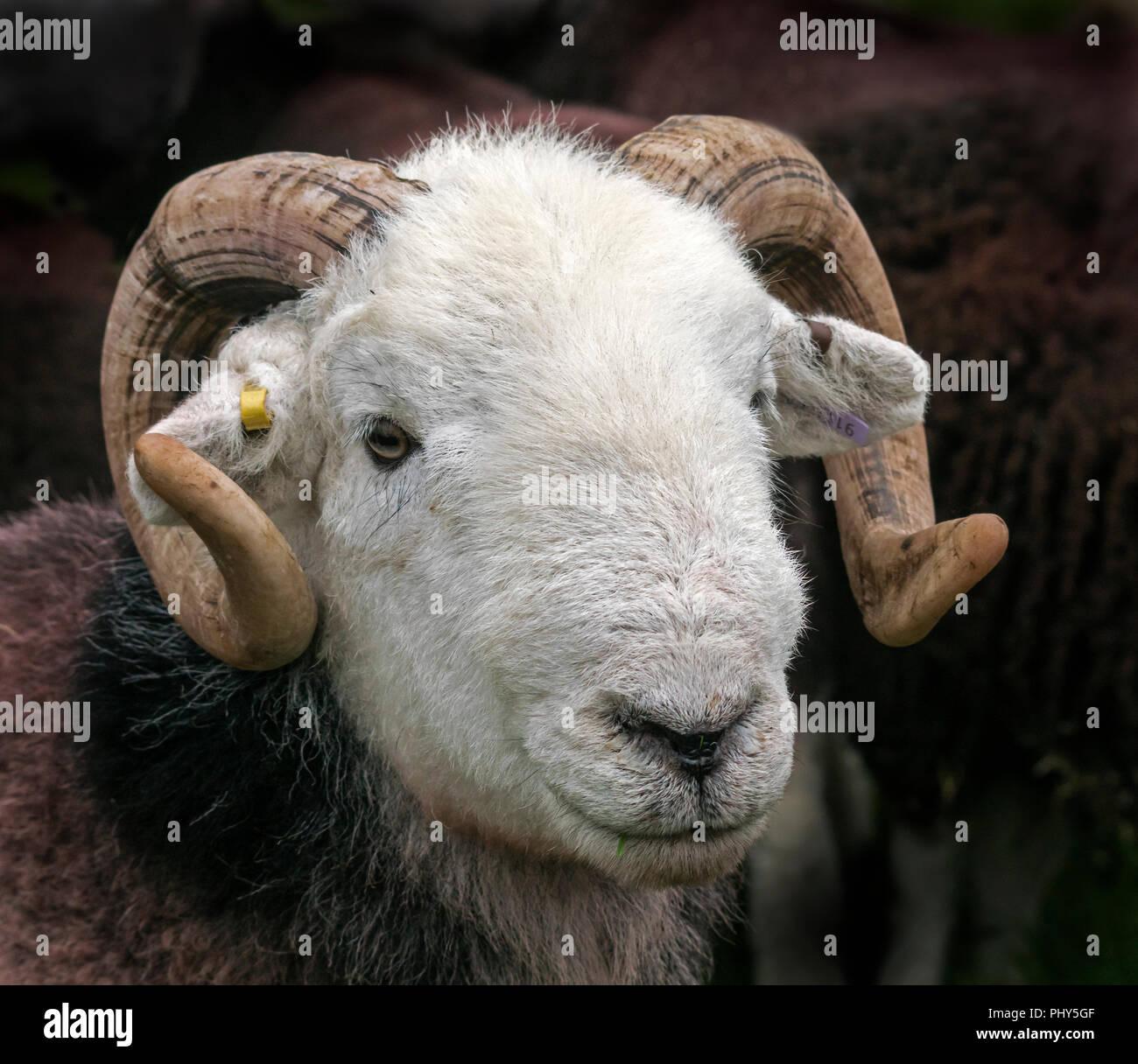 Herdwick Rams bei Serenity zeigen, warten beurteilt werden. Stockbild