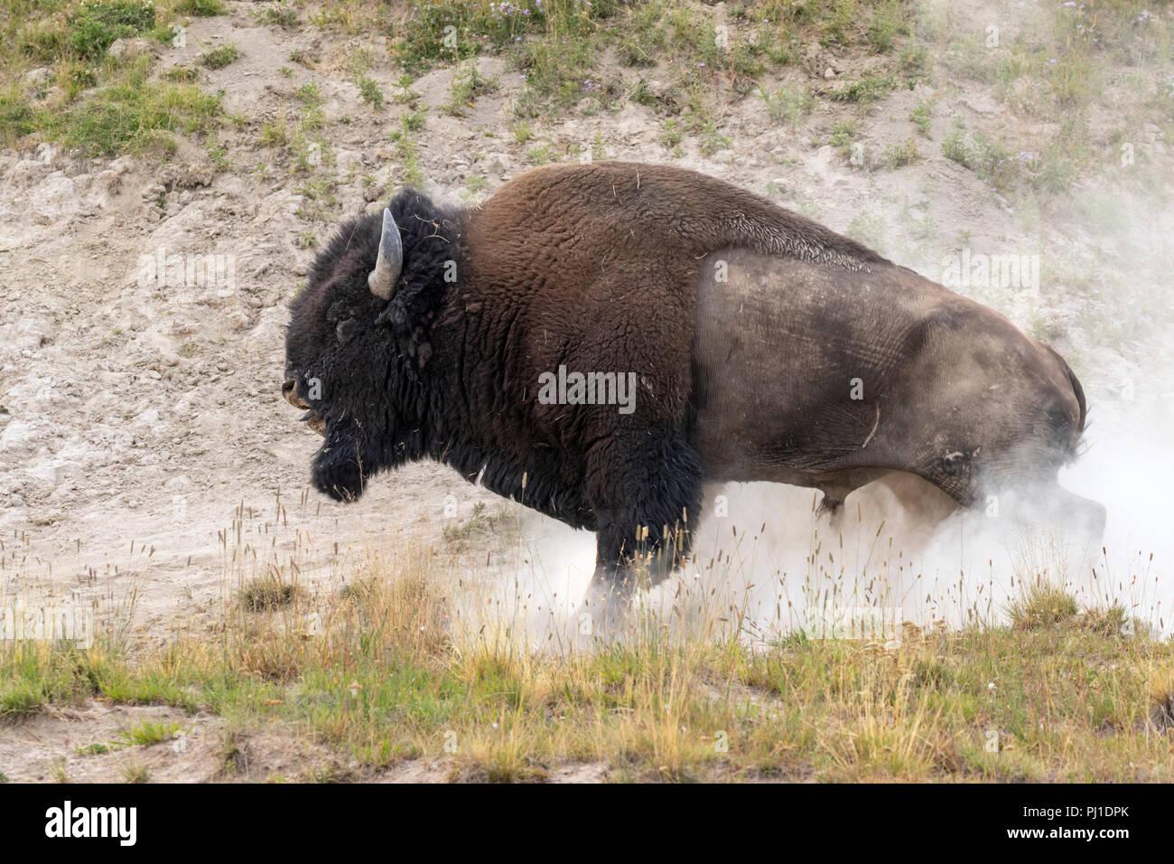 Amerikanische Bison (Bison bison) männliche Baden in Staub, Yellowstone National Park, Wyoming, USA Stockbild