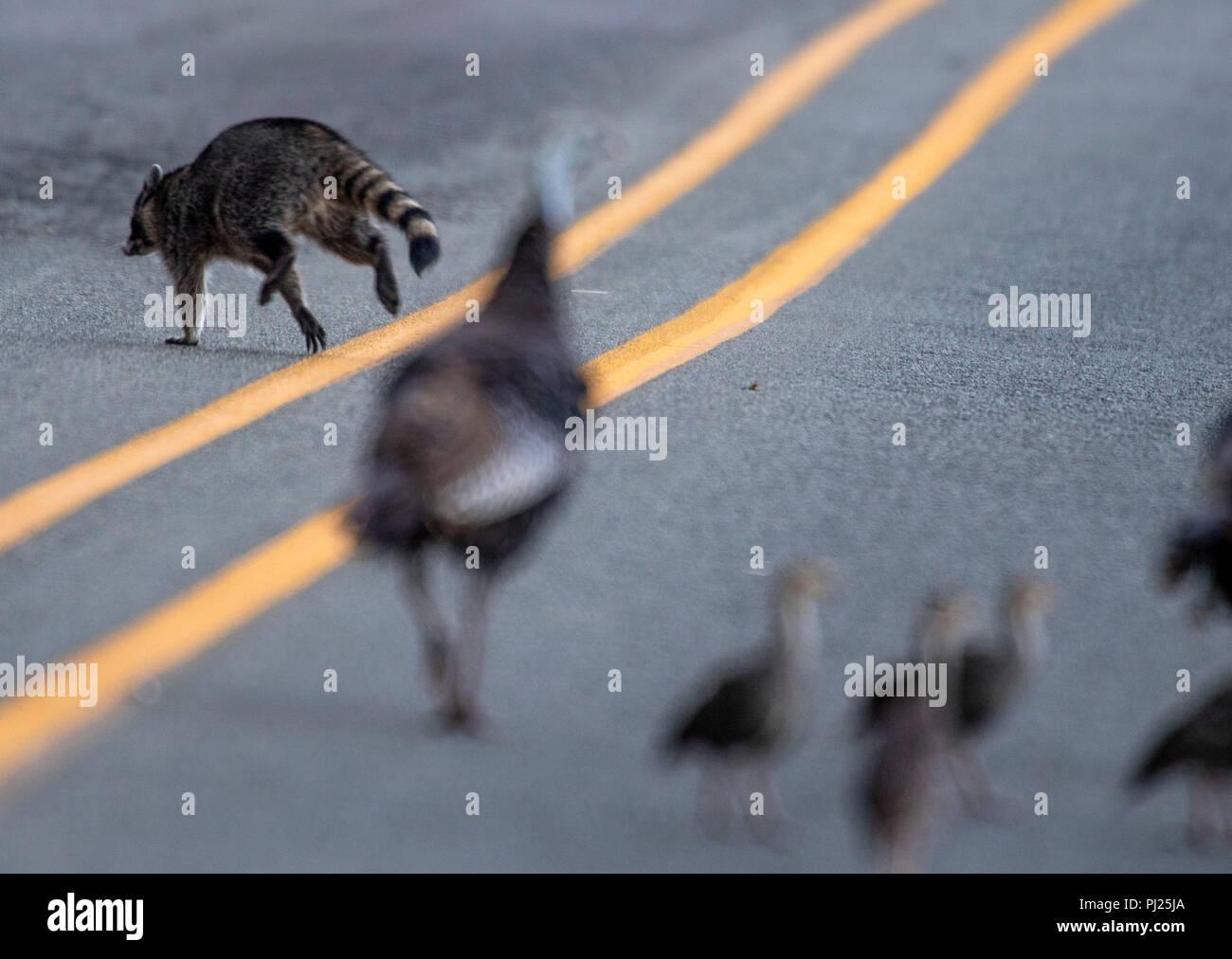 99606b6a0ae277 Ein Waschbär läuft über eine Landstraße in der Nähe von ...